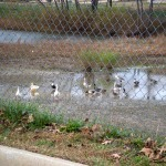 Roadside Ducks – Wordless Wednesday – #WW