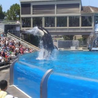 Killer whale show at Sea World San Diego