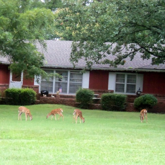 deer-fawns-in-the-yard (574 x 575)