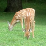 Deer Fawns   Wordless Wednesday