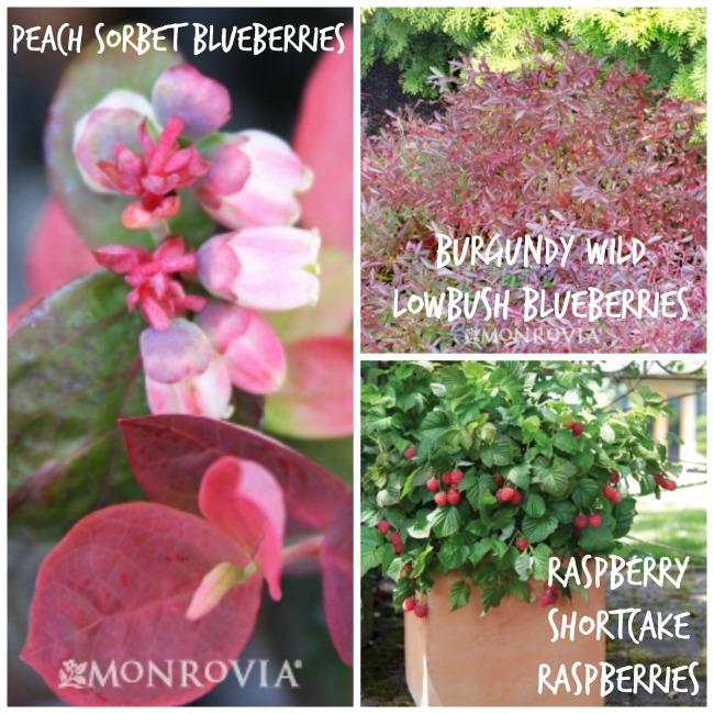 edible-landscaping-berries