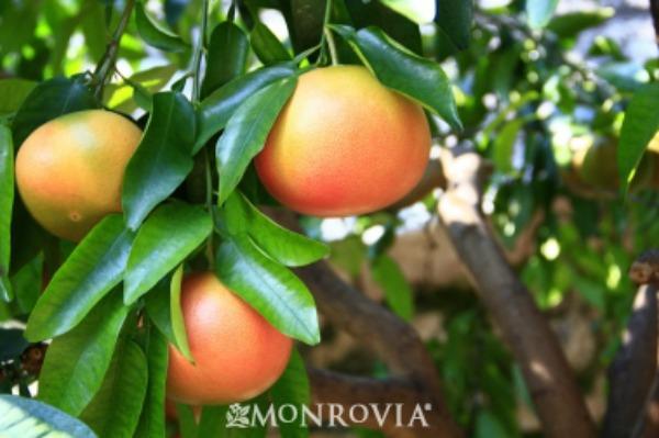grapefruit-tree-600