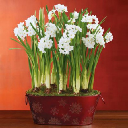 winter-paperwhites-in-red-tin