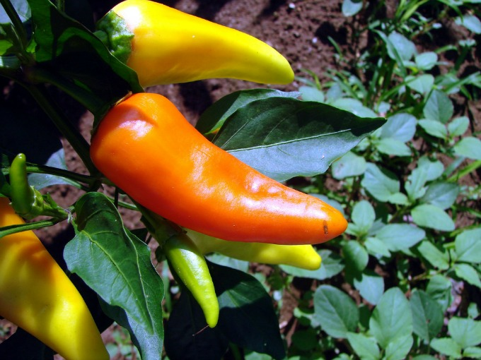 Learn how to gorw peppers in your container garden