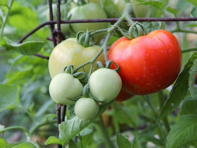 Grow your own tomatoes. It's easy, and you don't need a big yard.