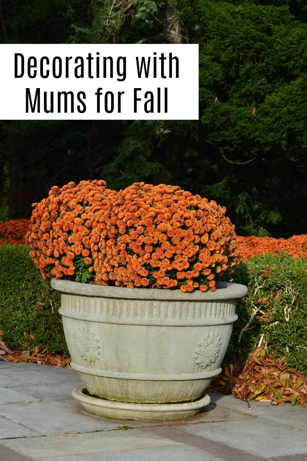 Decorate with mum for bright fall color. See why everyone's doing it, how to care for them, and why you might want to add a few to your interior.