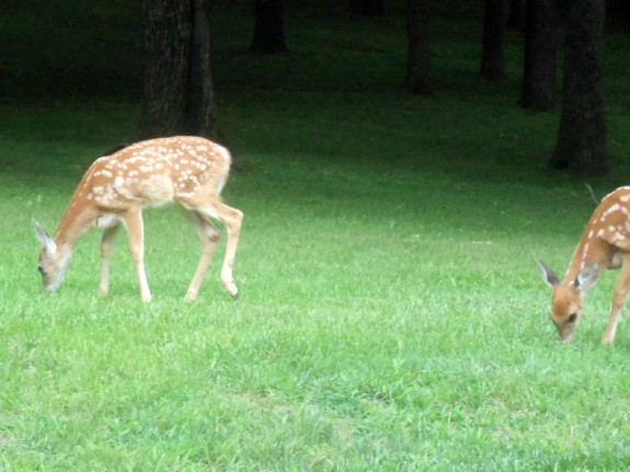 Deer fawns in the yard