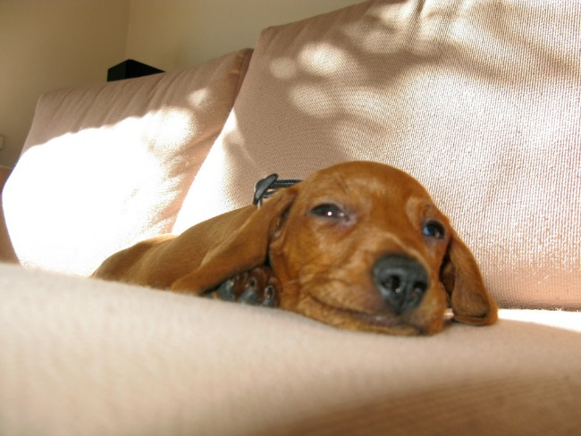 dachshund-on-couch