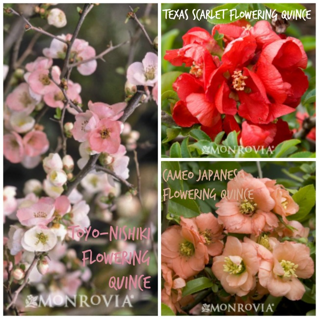 flowering-quince-edible-landscaping