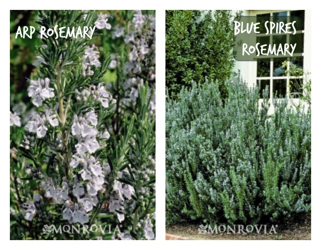 rosemary-edible-landscaping