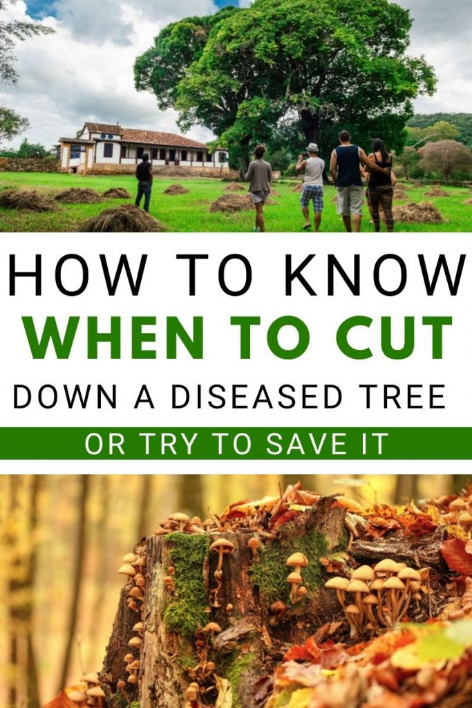How to know when to cut down a diseased tree or try to save it